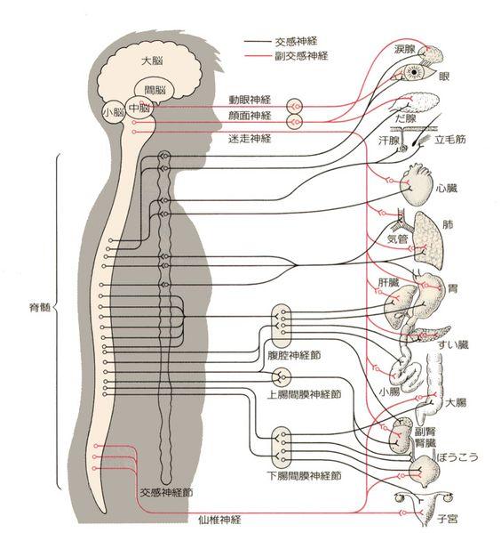 自律神経とは