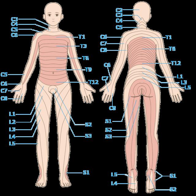 デルマトーム神経支配